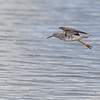 Lesser Yellowlegs  _D852188-Edit
