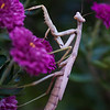 Praying Mantis DWA_2062