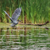 Yellow-Crowned Night Heron   _D758755-Edit