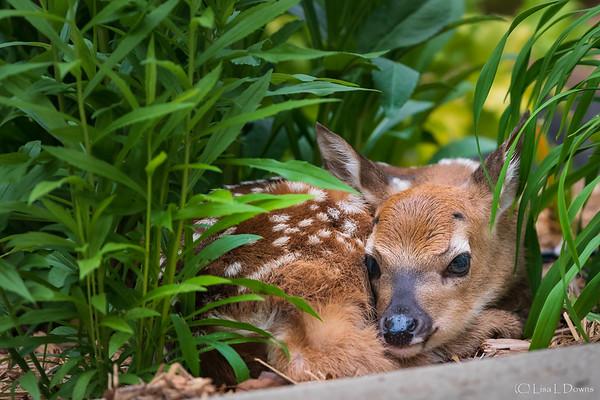 Newborn Fawn  _D753232