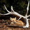 Red Fox  DWA_9592