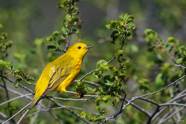 Yellow Warbler  _D751082