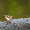 Least Sandpiper  _D751758-Edit