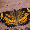 Pearl Crescent Butterfly  _D755955