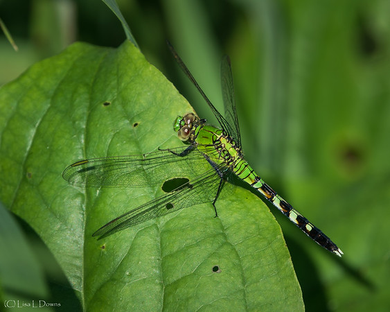 Common Green Darner Dragonfly  _D757167