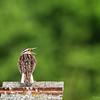 Eastern Medowlark  _D753971