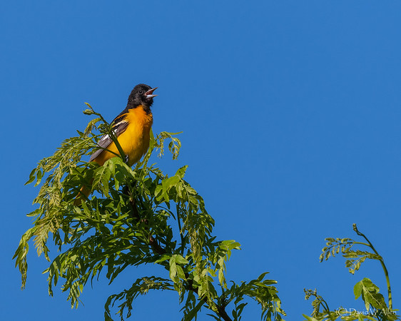 Baltimore Oriole _D850755