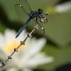 Spangled Skimmer Dragonfly  D75_2322