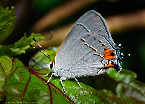Gray Hairstreak Butterfly  DWA_0263