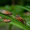 Seventeen Year Cicadas DWA_9996