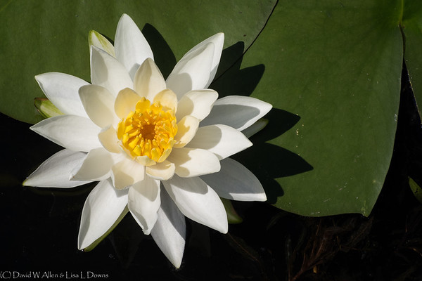 Water Lily  D75_2295