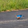 Eastern Bluebird  _D759694