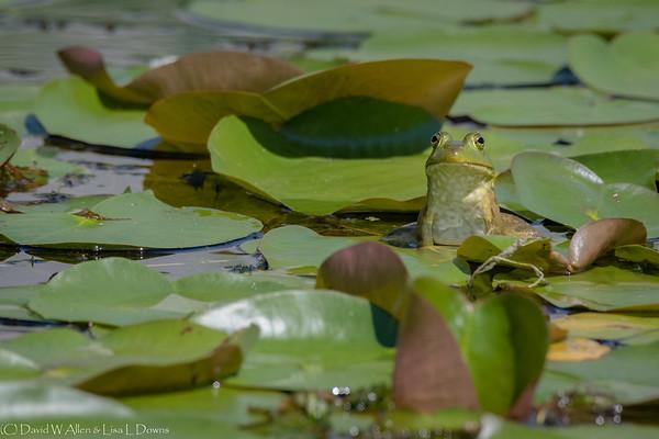 Green Frog  _D852976