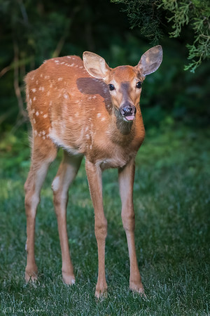 Fawn, Three Months Later   _D750462-Edit