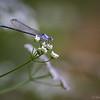 Violet Dancer Damselfly  _D855559-Edit