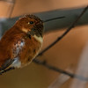 Rufous Hummingbird _D753173
