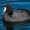 American Coot  _D753365