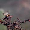 Cactus Wren  _D854981