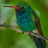 Broad-billed Hummingbird  _D753155