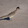 Greater Roadrunner  _D854969