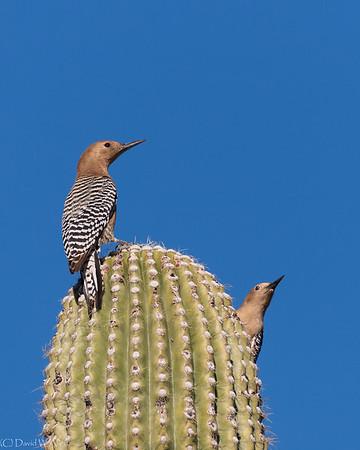 Gila Woodpeckers  _D855088