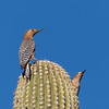 Gila Woodpeckers  _D855088