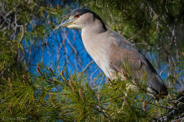 Black Crowned Night Heron  _D753567