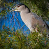 Black Crowned Night Heron  _D753567