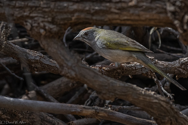 Green Tailed Towhee  _D855198-Edit-Edit