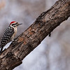 Ladder Backed Woodpecker  _D754095