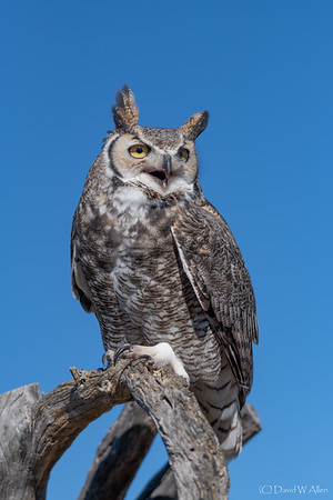 Great Horned Owl  _D854368