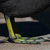 American Coot Foot Detail  _D753326