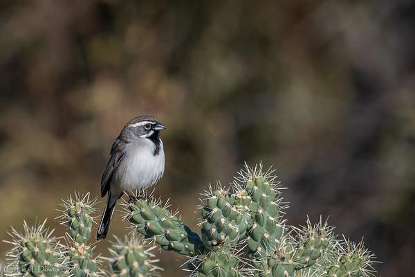 Black Throated Sparrow _D753811