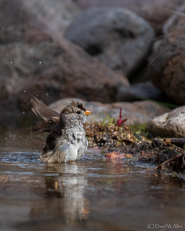 White Crowned Sparrow Bathing  _D855189