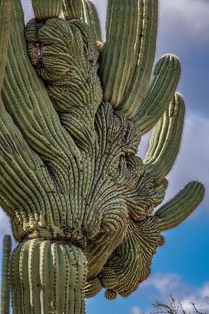 Cristate Saguaro Cactus _D853859