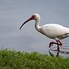 White Ibis  D75_1736