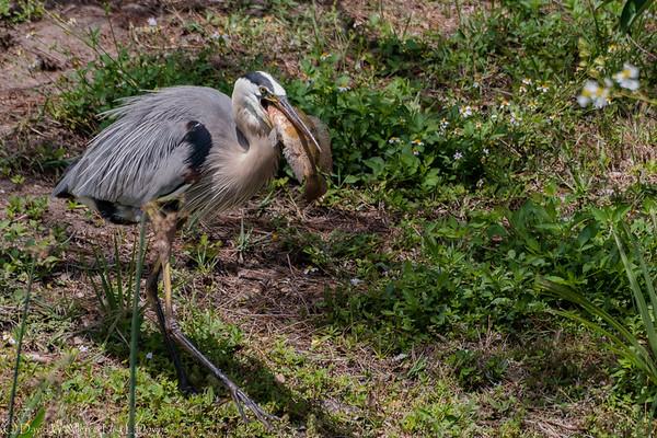 Great Blue Heron  D75_1873