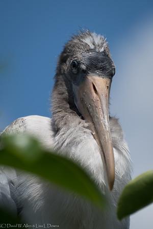 Wood Stork Chick D75_2122