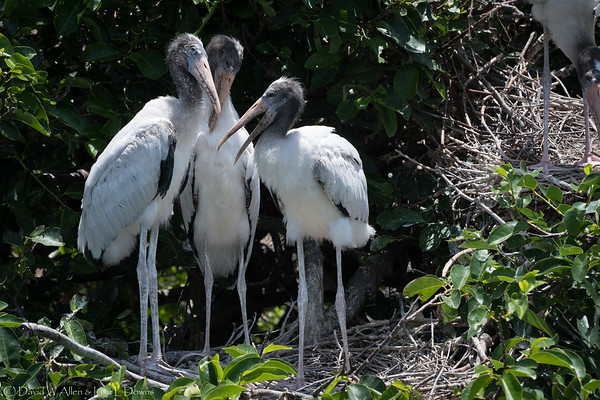 Wood Stork Chicks  D75_2076