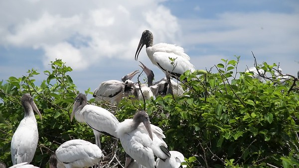 Wood Stork feeding Chicks DSC_2576