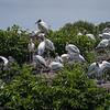 Nesting Wood Storks  D75_2079