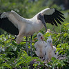 Wood Stork and Chicks D75_1806