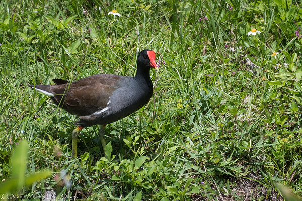Common Moorhen  D75_1933