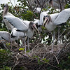 Wood Stork Chicks  _D852191