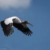 Wood Stork  _D852477