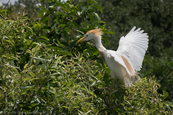 Cattle Egret  _D852442