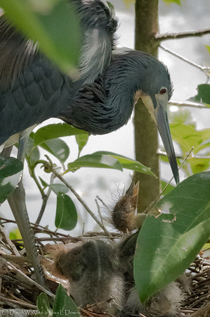 Tricolor Egret and Chicks _D852425