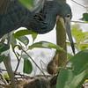 Tricolor Egret and Chicks _D852425