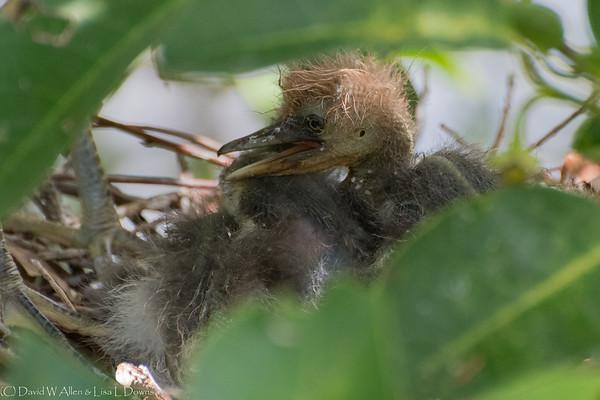 Tricolor Egret Chick  D75_2023