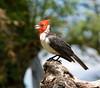 pretty red-headed birds!